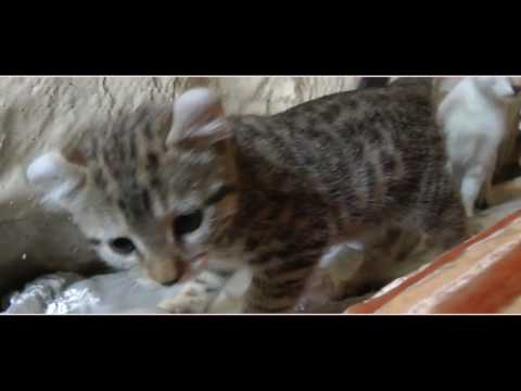 Amazing Exotic - Lynx Hybrid Kittens 7 weeks old