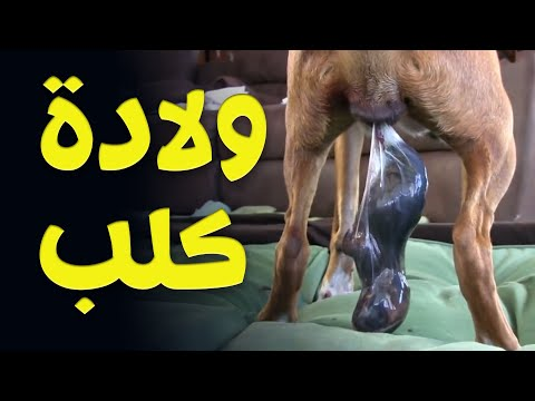 شاهد ولادة كلب   Amazing  birth of a dog