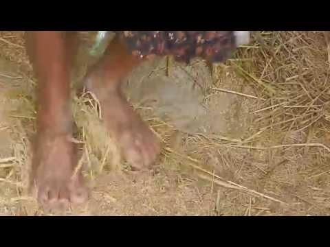 Rice Hulling by Traditional kerala farmer using his leg
