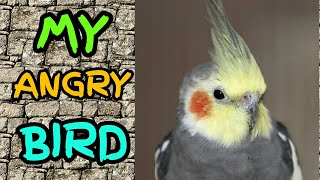 cocktail | parrot | cocktail parrot | my cocktail | bird | birds | my pet bird | angry bird