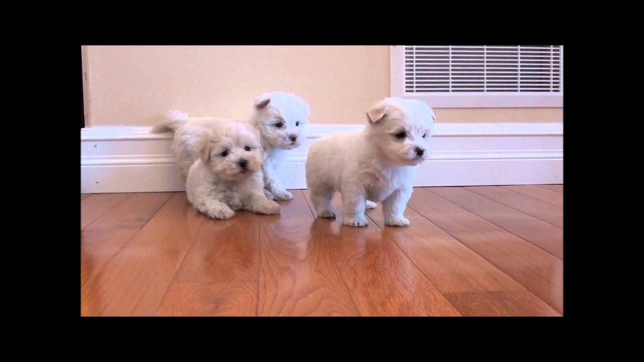 Maltese puppies for sale - February 13, 2012.wmv