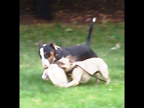 English Bull Terrier Roscoe & French Bulldog Roxy both want the same all.