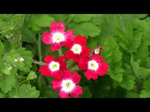 Цветы-ОДНОЛЕТНИКИ - 2019 г.  20 Проверенных Временем Сортов