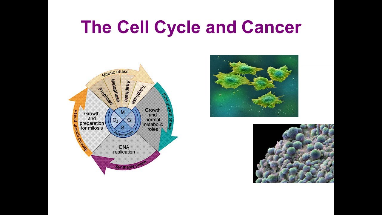 the cell cycle and cancer essay The mechanisms of cancer specific molecules that control the progression of a  cell through the cell cycle regulate cell growth an understanding of normal cell.