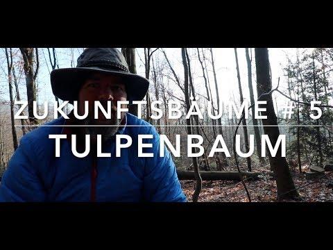 Tulpenbaum - Zukunftbäume #5