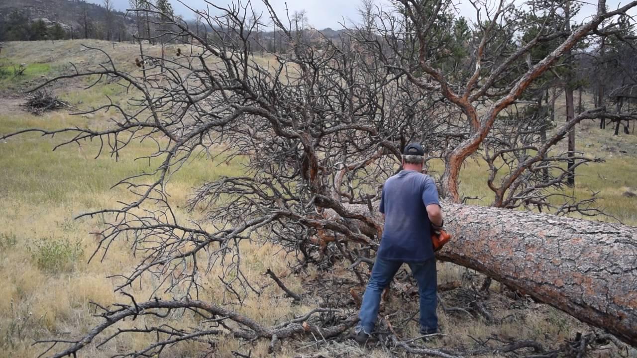 chainsaw tree limbing