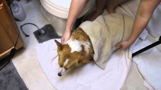 How to Wash Chloe the Corgi