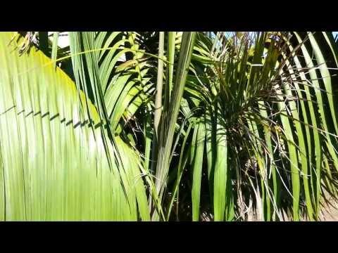 Kentia Palm - Howea forsteriana - Thatch Palmier HD 02