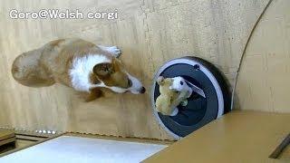 Roomba Closes A Door / ドアを閉めるルンバ 20140609-10 Goro@welsh Corgi コーギー 870 Irobot