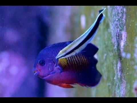 Care For Cleaner Wrasse 醫生魚; Cleaner Wrasse Vs Cleaner Shrimp