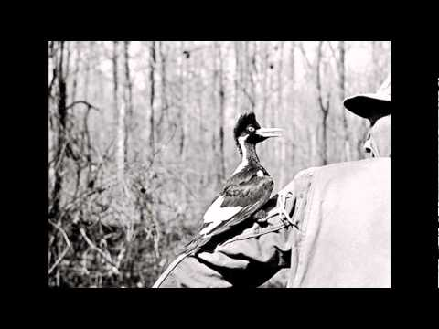 M.K.Davis discusses the Ivory billed Woodpecker.wmv