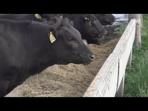 How Full-Blood Wagyu Is Cultivated At Mayura Station In Australia