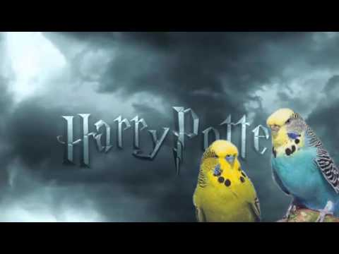 """harry potter""  whistle training budgie and parrot teach learn training"