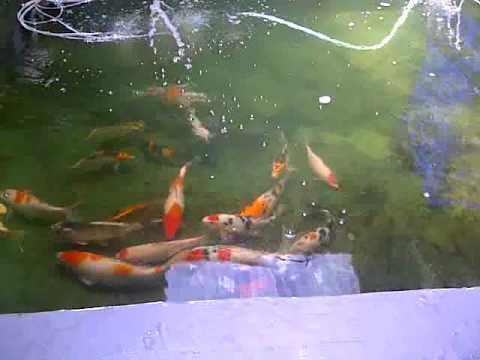 kolam ikan koi sederhana dengan trickle filter youtube