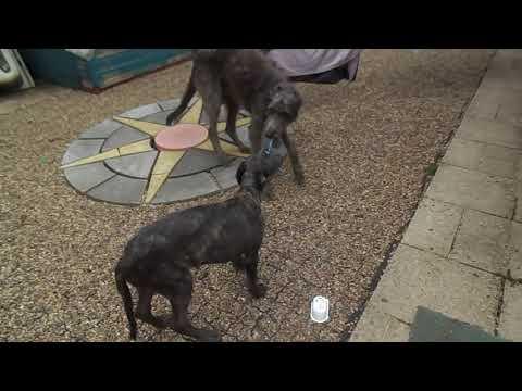Deerhound & Deerhound Lurcher Playing