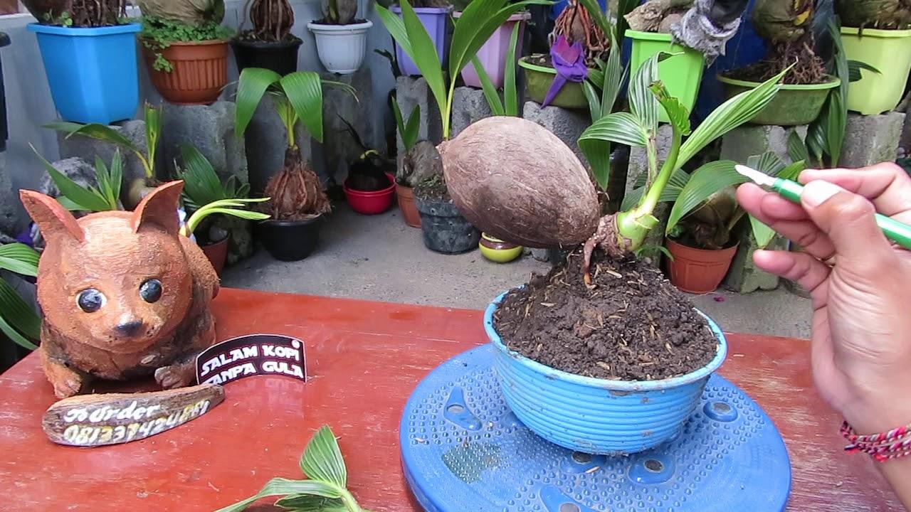 Sayat Bonsai Kelapa Minion Ditemani Guk Guk Meong By Dek Dwi Payadnya