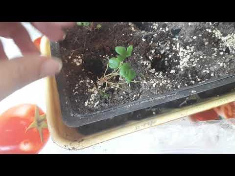Покупка Меристемных растений IN - VITRO Пересадка клубника купчиха улучшенная!