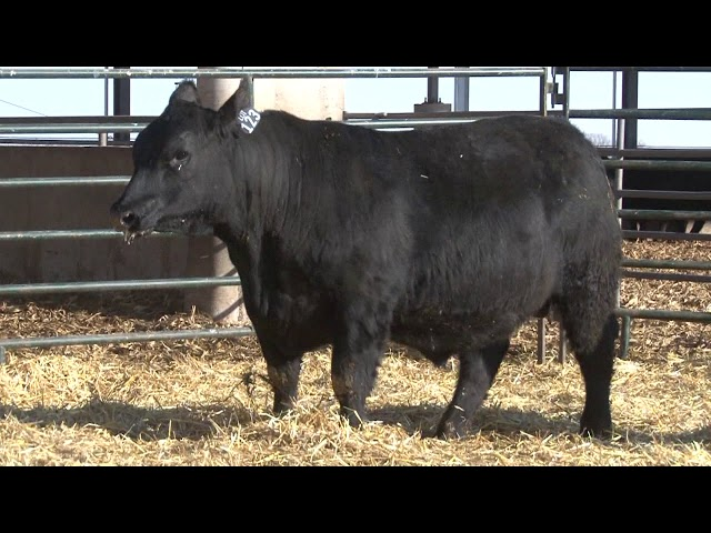 Schiefelbein Angus Farms Lot 123