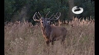 Red stag hunting during the rut in September 2019 #2