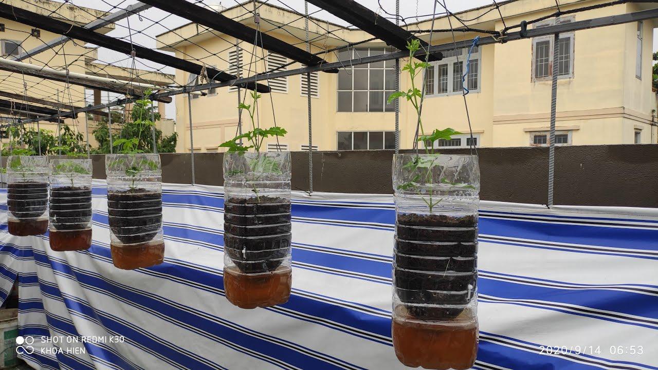Sử dụng 2 bình cũ 5 lít tái chế lại trồng Khổ Qua Treo  | Khoa Hien 334
