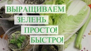 видео Выращивание сельдерея дома и в огороде: из кочерыжки, семян