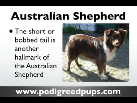 Australian Shepherd puppies - Australian Shepherd Dog Breed Information