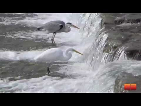 Persistence - White Egrets and Blue Herons in Kyoto, Japan's Kamo River (京都鴨川の白鷺)