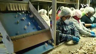 加州三代蒜农抗争中国倾销 贸易战中成赢家
