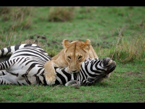Zebra Eating Food