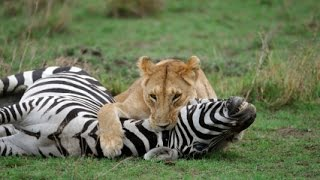 Lion Eating Zebra - lion attack,lion hunting,lions kill,lions documentary 2015
