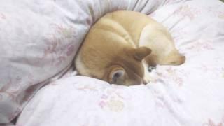うちの柴犬です! 急に老けたような顔つきになりました。 柴犬 shiba 日...