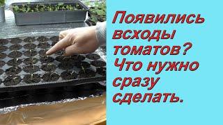Как не испортить рассаду томатов сразу после всходов.