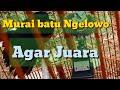 Cara Setting Murai Ngelowo Murai Ngelowo Juara  Mp3 - Mp4 Download