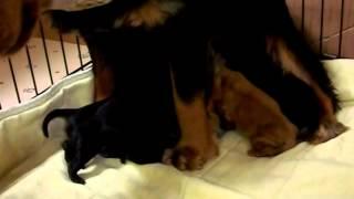 ほんとうに生まれたばかりの子犬達です♪ 【犬ブリーダー 子犬販売(ハニ...