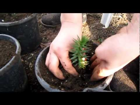 Araucaria Araucana Plant in Greenhouse - Monkey Puzzle Seedlings - Maymun Çıkmaz