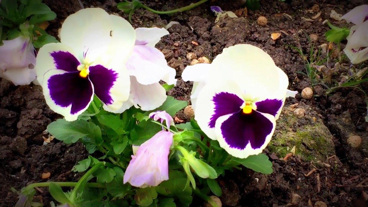 British spring blossoms pansies flowers blooming in garden british spring blossoms pansies flowers blooming in garden pansies spring gardening flowers dhlflorist Choice Image
