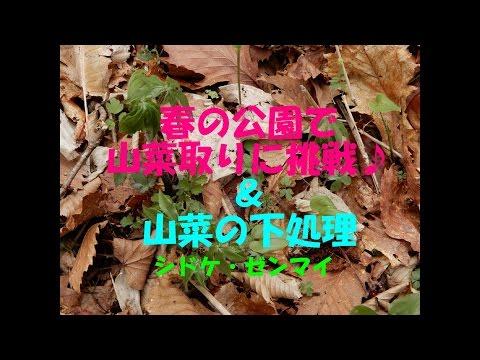 素人の山菜採り~公園で山菜を探して調理してみた シドケ / ゼンマイ