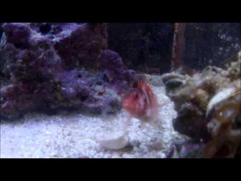 Red Banded HawkFish (Cirrhitops Fasciatus)