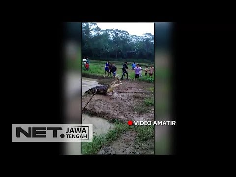 Ngeri! Buaya Berukuran Raksasa Ini Terjebak di Sawah Warga - NET JATENG