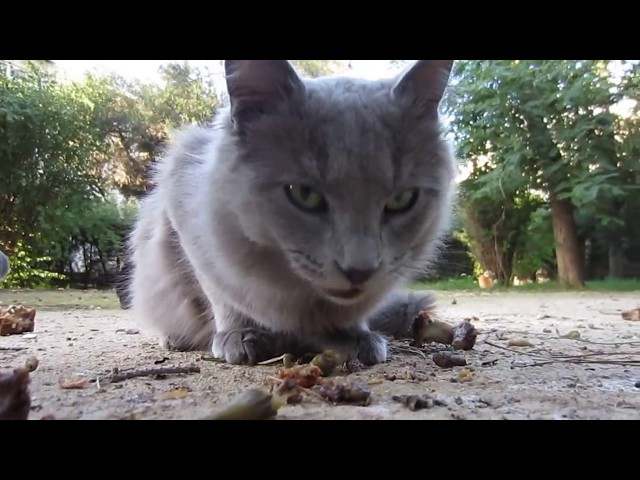 Wild cat chomping on bones HD Travel Video