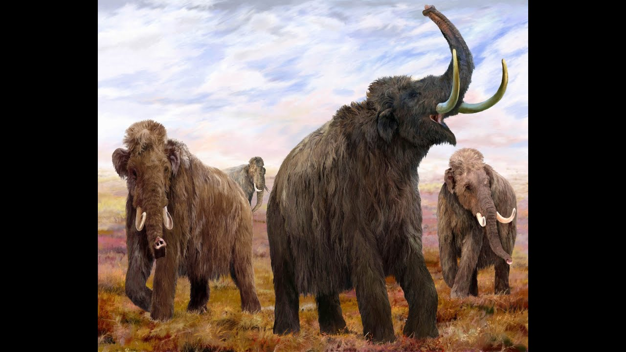 the woolly mammoth with inward curving tusks in the resurrection of an ice age giant Scientists debate resurrecting long-extinct woolly mammoth lab replaced by the nearly backward curling tusks of a shaggy end of the ice age.