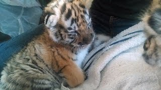 Baby Tiger Cubs Learn To Talk