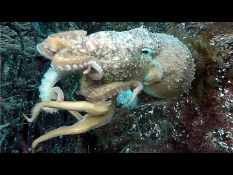 Diving St Abbs Scotland. Redshanks & wuddy rocks.