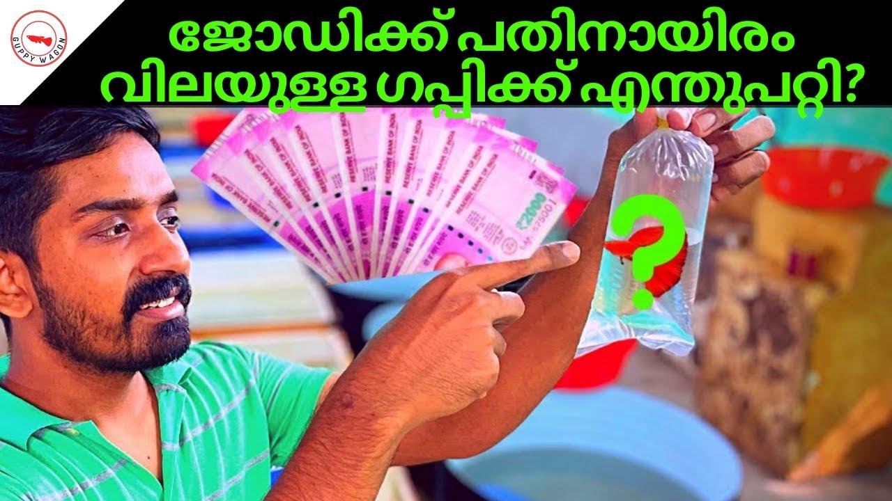 ജോഡിക്ക് പതിനായിരം വിലയുള്ള ഗപ്പിക്ക് എന്തുപറ്റി| What Happened To 10000 Rupee Guppy Pair