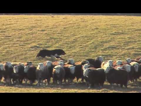 Border Collie herding sheep ..