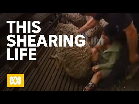 This Shearing Life
