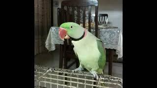 Parrot saying ALLAH HOO
