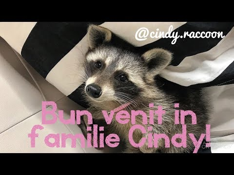 Uite de ce am ales un raton ca animal de companie?! | Why i chose a raccoon as a pet?! | EDA Vlog