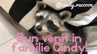 Uite de ce am ales un raton ca animal de companie! Why i chose a raccoon as a pet! EDA V ...