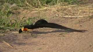 Download Video SOUTH AFRICA paradise whydah, Kruger national park (hd-video) MP3 3GP MP4